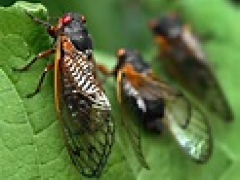 [image for Planet Spotlight cicada picture.png]