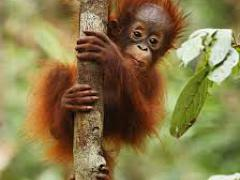 [image for Planet Spotlight baby orang.jpg]
