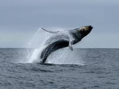 [image for Planet Spotlight Humpback.jpg]
