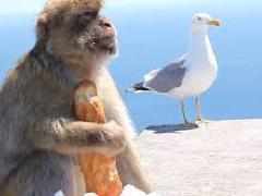 [image for Planet Spotlight monkey on gibraltar.jpg]